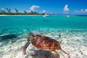 59258205 - green turtle in the caribbean sea of mexico scenery