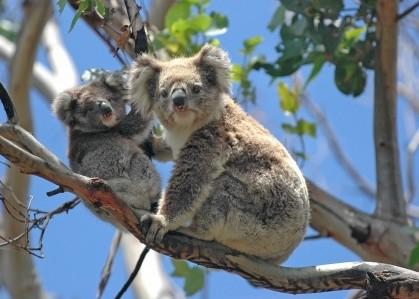 Transport animalier-Australie en Avion