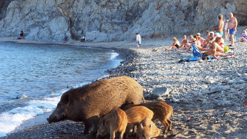 une-laie-se-promene-avec-ses-marcassins-comme-a-son-habitude-depuis-un-an-sur-une-plage-de-cerbere-dans-les-pyrenees-orientales-le-12-septembre-2016_5667815